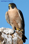 Hunting falcons to be shown in Plovdiv
