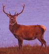 Bulgaria Top Destination for Hunting Red Deer